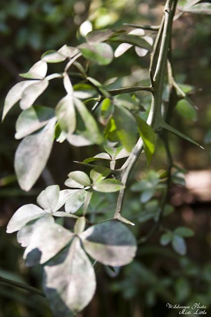 trifoliate3