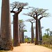 Grandidier's Baobabs, Maroantsetra (Stephen Woodham)