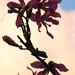 Small photo of Flor de la Ceiba