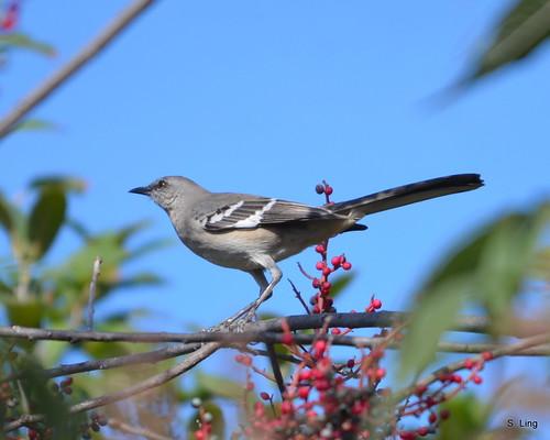 Mocking Bird ~ State bird of Texas