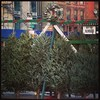 Christmas trees in Harlem!