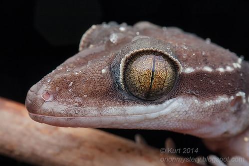 Cyrtodactylus bintangtinggi IMG_5216 copy