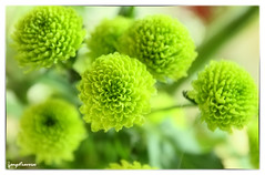 Fleur Verte Ange Traverso Flickr