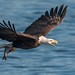 Bald Eagle (Haliaeetus leucocephalus) by ER Post