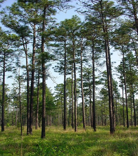 Southeastern Virginia marks the northern boundary of the natural range of longleaf pine forests, which once stretched along most of the Atlantic and Gulf Coastal Plains from Virginia to eastern Texas. Research aimed at finding the best seed sources to restore longleaf pine forests to southeastern Virginia area is also providing important clues for adapting forest ecosystems to changing climate.