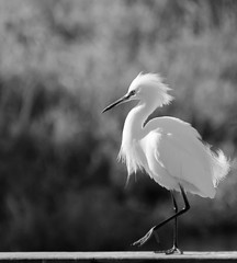 Snowy Egret in the sun.