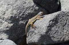 Bolivian lizard