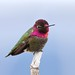 California: Anna's Hummingbird by spiderhunters