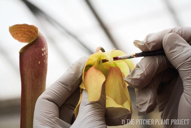 Sarracenia pollination