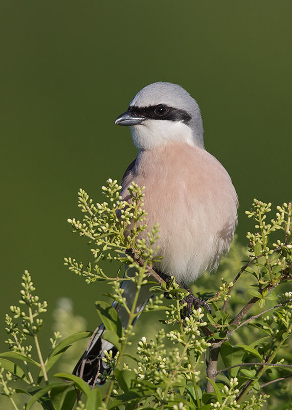 Red-backed Shrike 2014-05-18