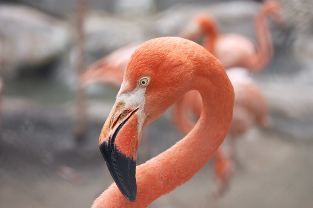 Flamingo (zoo Moscow)