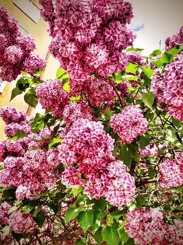 stockholm lilacs