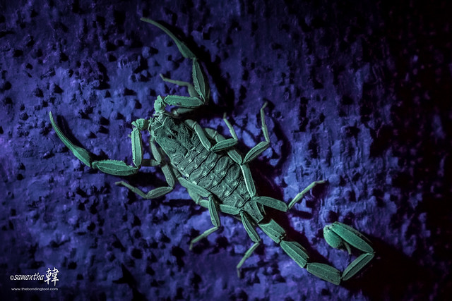 Scorpion (UV Light)