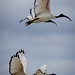 Small photo of African Sacred Ibis
