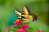 Eastern Tiger Swallowtail - 2015
