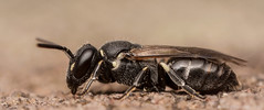 Hylaeus species (Female)