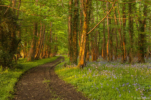 Bluebell Woods, Dorset - May 2013