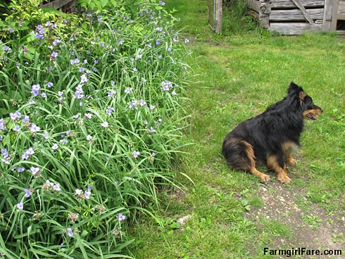 (29-25) Bear doesn't appreciate the blooming spiderwort as much as I do - FarmgirlFare.com