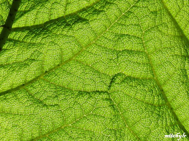 Sunlight Through Gunnera Leaf 4