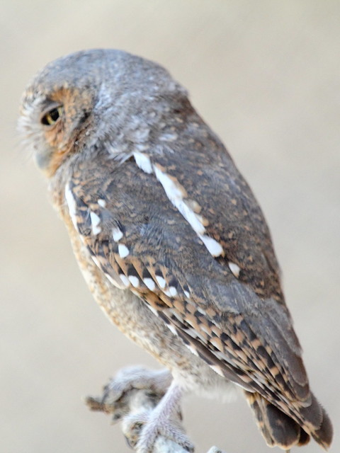 Elf Owl 20130614 - Copy