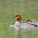 Common Merganser and Duckling by Raymond Lee Photography