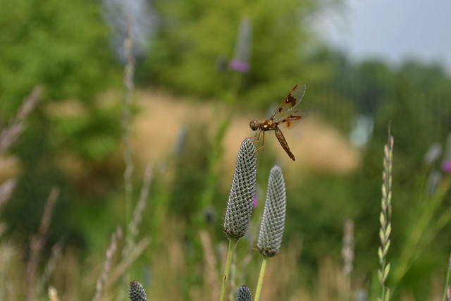 A dragonfly lands on Dalea purpurea (purple prairie clover). Photo by Blanca Begert.
