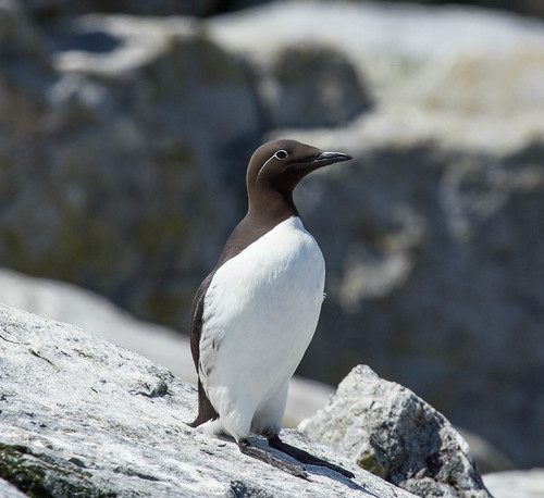 """""""Bridled"""" Common Murre"""
