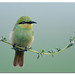 Green Bee eater_D4R6818 by Rathika Ramasamy