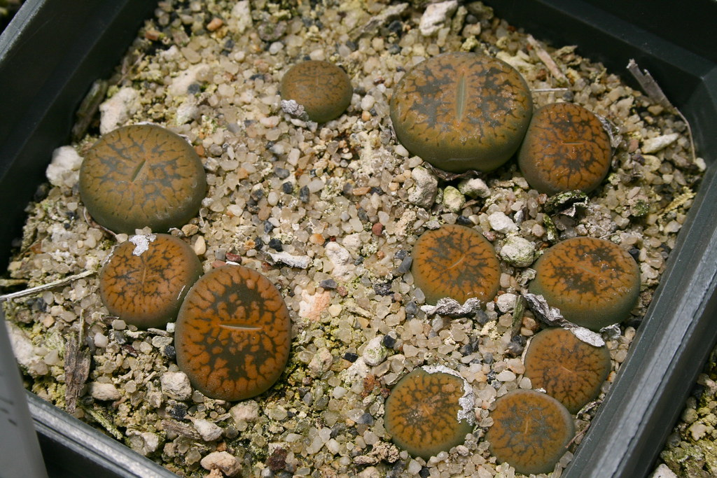 Lithops aucampiae 'Betty's Beryl'