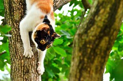 Holmes calico cat, good at climbing trees / 三毛猫ホームズは木登りが上手