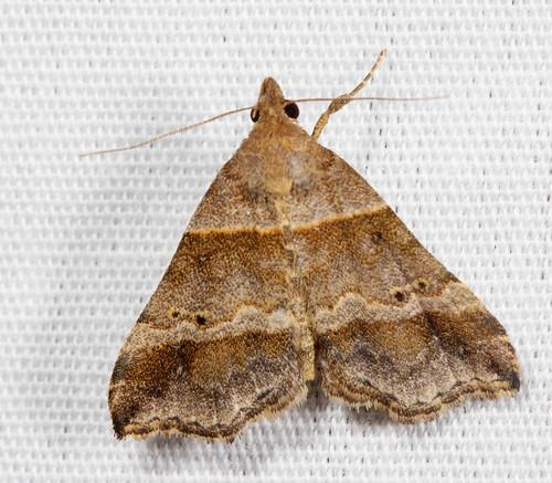 insect nc moth july northcarolina lepidoptera fieldtrip herminiinae coastalplain eol bmna erebidae ambiguousmoth lascoriaambigualis lascoria medocmountain taxonomy:binomial=lascoriaambigualis medoc20130710