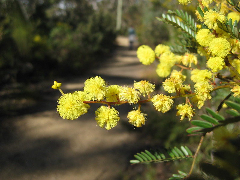 Gold Wattle on the track following Evans Lookout Road