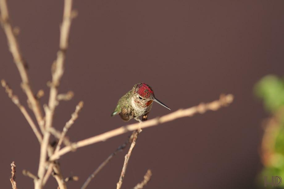 immature Anna's Hummingbird 072313-2