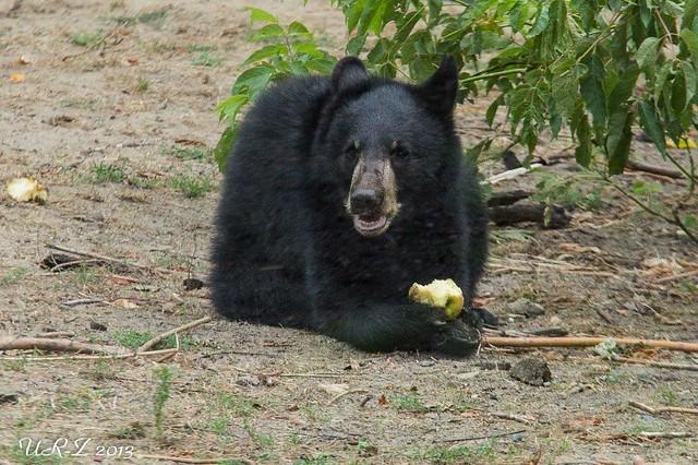 2-Baribal-Jungbär Koda oder Kanai