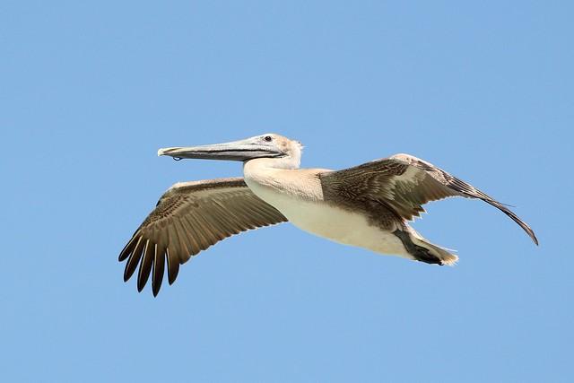 Punk Brown Pelican