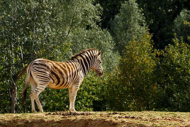 Zebra, Posing