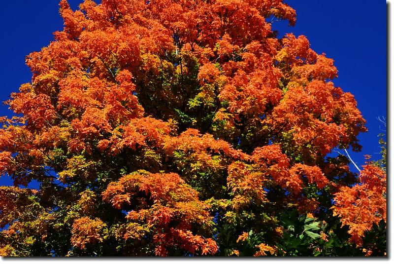 Maple in Fall, Mapleton Hill, Boulder (31)