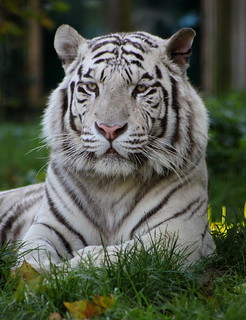 Baikal the White Tiger (Panthera Tigris)