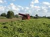 De aardappelhoeve Rooien 2013 3