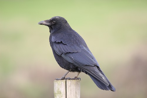 CarrionCrow_035424