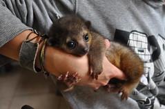 pygmy slow loris(0.0), possum(0.0), animal(1.0), mammal(1.0), kinkajou(1.0),