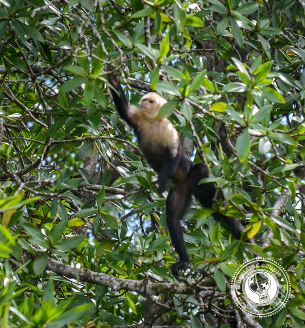 White Capuchin Monkey