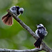 Pied Monarch (Arses kaupi) by Mickspixx