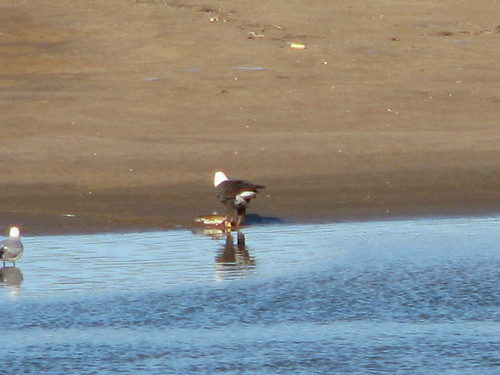A gull approaches a bald eagle perched on a sandbar, eating a fish he grabbed from the Arkansas River at Tulsa, January 2014