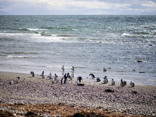 Magellanic Penguins near Punta Arenas, Patagonia, Chile