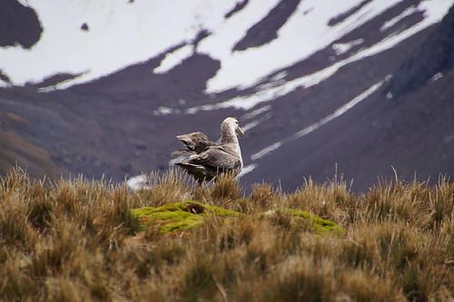 289 Reuzenstormvogel
