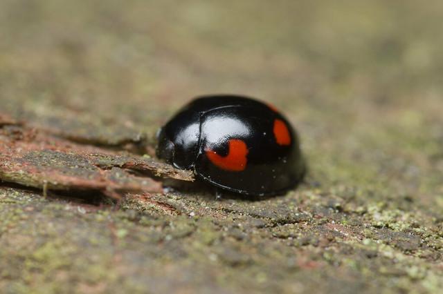 138: Pine Ladybird