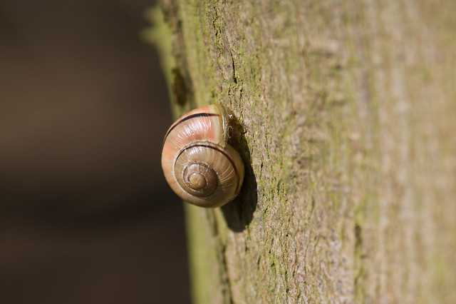 127: White-lipped Snail