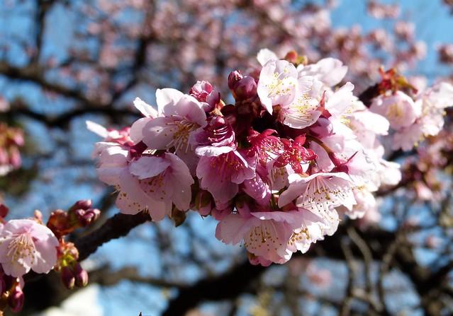 Cherry blossoms in Tokyo, by Karen Warren