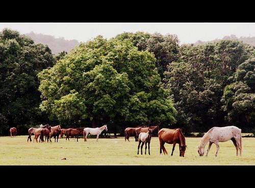 Wild Horses - Vieques, PR